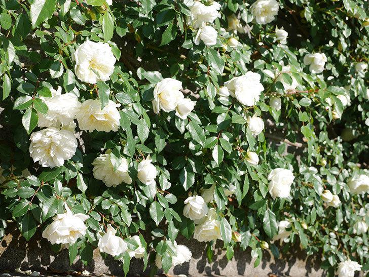 アルベリック・バルビエ(ツルバラ)の花が満開になった。ツルバラ。2021年-009.jpg