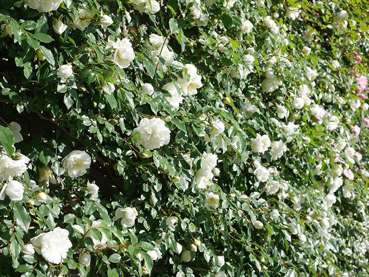 アルベリック・バルビエ(ツルバラ)の花が満開になった。ツルバラ。2021年-010.jpg