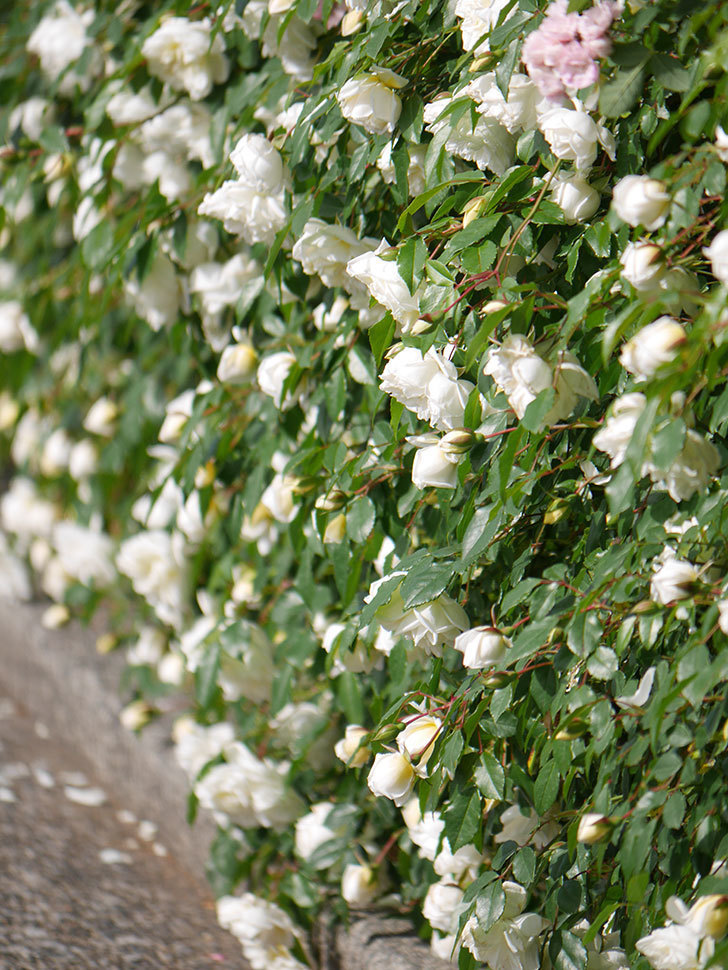 アルベリック・バルビエ(ツルバラ)の花が満開になった。ツルバラ。2021年-012.jpg