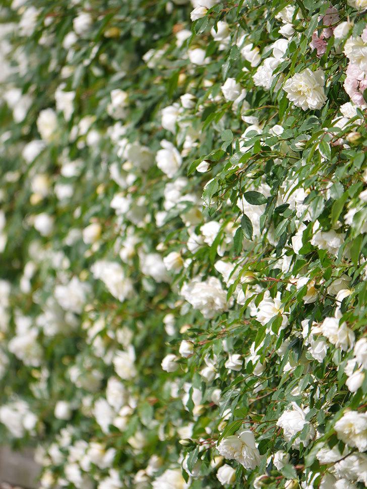 アルベリック・バルビエ(ツルバラ)の花が満開になった。ツルバラ。2021年-013.jpg