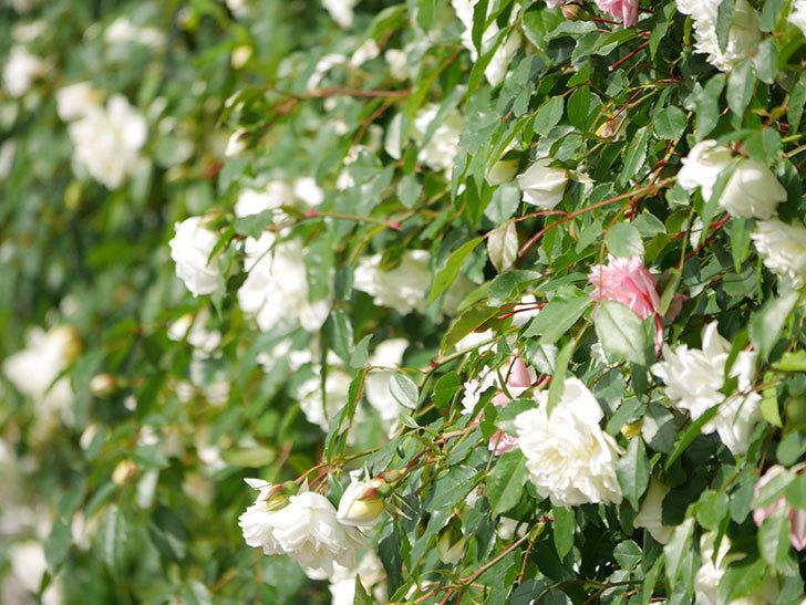 アルベリック・バルビエ(ツルバラ)の花が満開になった。ツルバラ。2021年-014.jpg