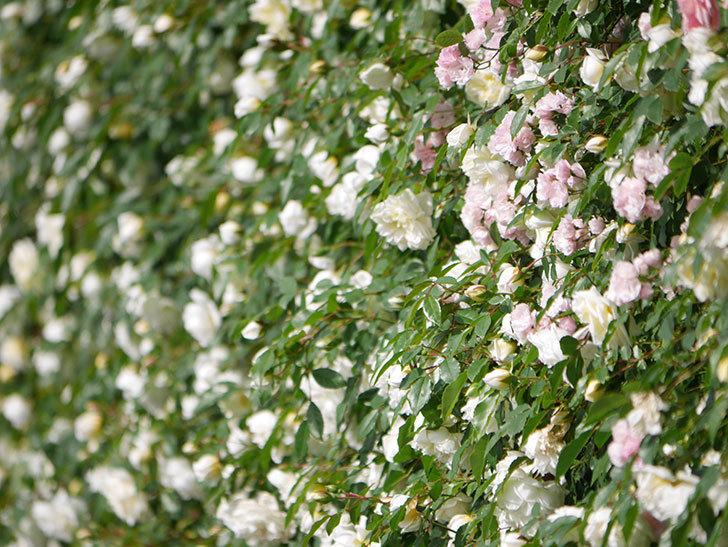 アルベリック・バルビエ(ツルバラ)の花が満開になった。ツルバラ。2021年-015.jpg