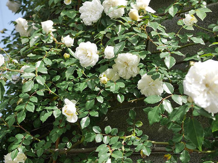アルベリック・バルビエ(ツルバラ)の花が満開になった。ツルバラ。2021年-016.jpg