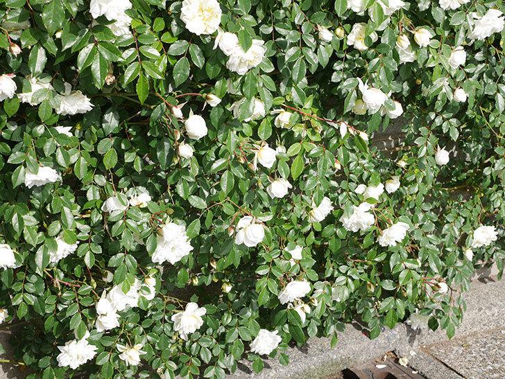 アルベリック・バルビエ(ツルバラ)の花が満開になった。ツルバラ。2021年-017.jpg