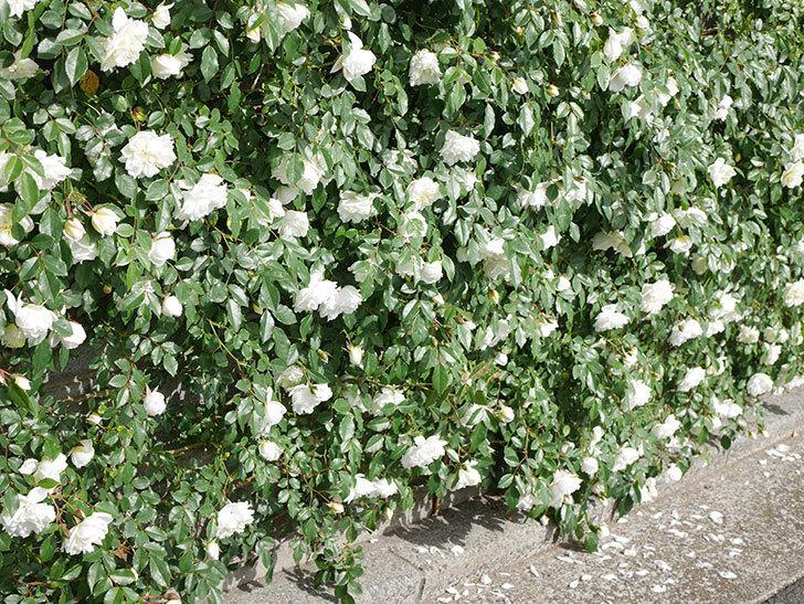 アルベリック・バルビエ(ツルバラ)の花が満開になった。ツルバラ。2021年-018.jpg