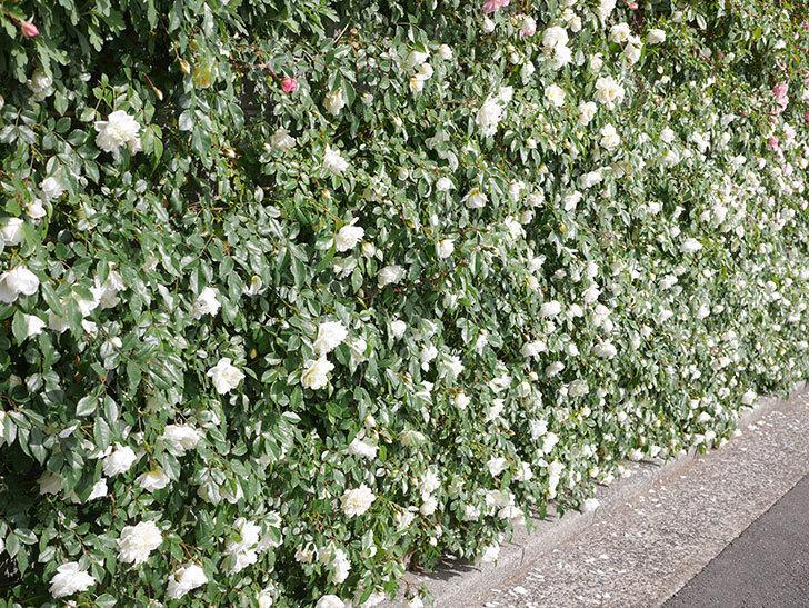 アルベリック・バルビエ(ツルバラ)の花が満開になった。ツルバラ。2021年-019.jpg