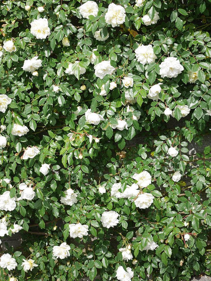 アルベリック・バルビエ(ツルバラ)の花が満開になった。ツルバラ。2021年-020.jpg