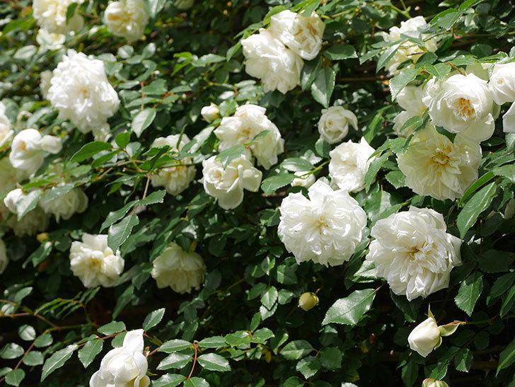 アルベリック・バルビエ(ツルバラ)の花が満開になった。ツルバラ。2021年-021.jpg