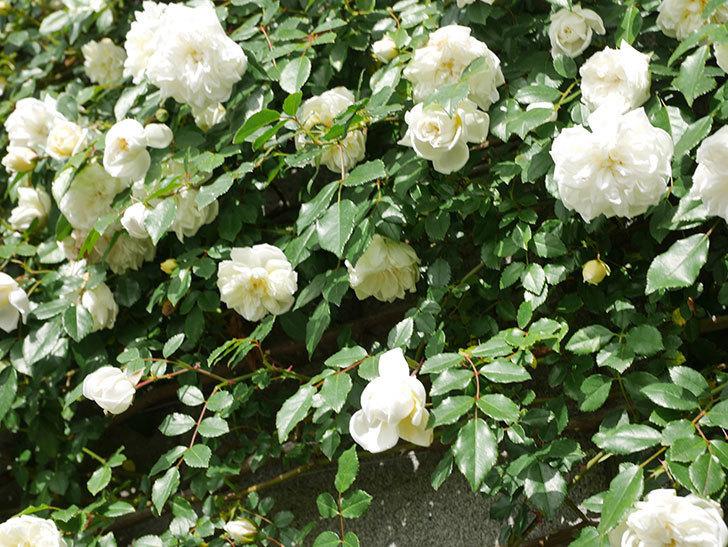 アルベリック・バルビエ(ツルバラ)の花が満開になった。ツルバラ。2021年-022.jpg
