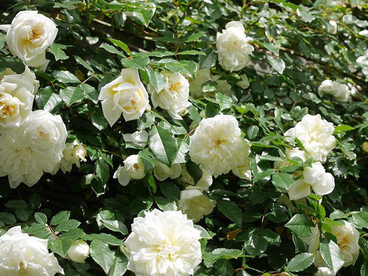 アルベリック・バルビエ(ツルバラ)の花が満開になった。ツルバラ。2021年-023.jpg