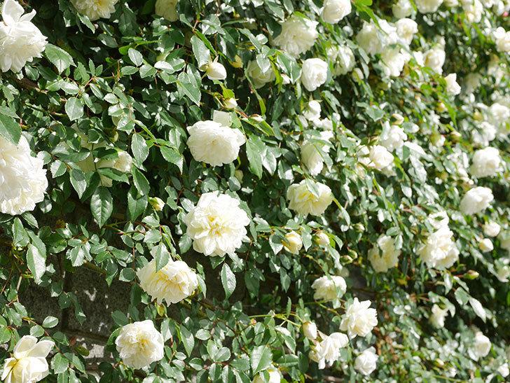 アルベリック・バルビエ(ツルバラ)の花が満開になった。ツルバラ。2021年-024.jpg
