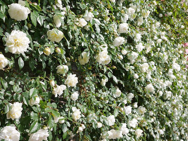 アルベリック・バルビエ(ツルバラ)の花が満開になった。ツルバラ。2021年-025.jpg