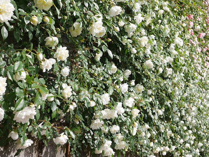 アルベリック・バルビエ(ツルバラ)の花が満開になった。ツルバラ。2021年-026.jpg