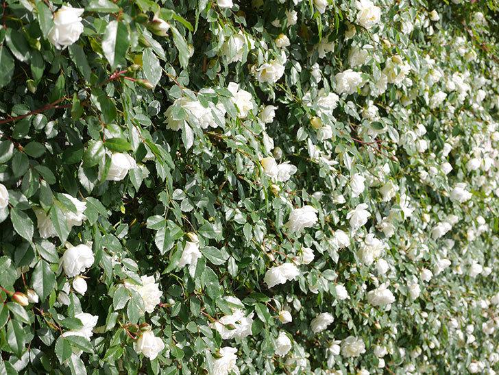 アルベリック・バルビエ(ツルバラ)の花が満開になった。ツルバラ。2021年-027.jpg
