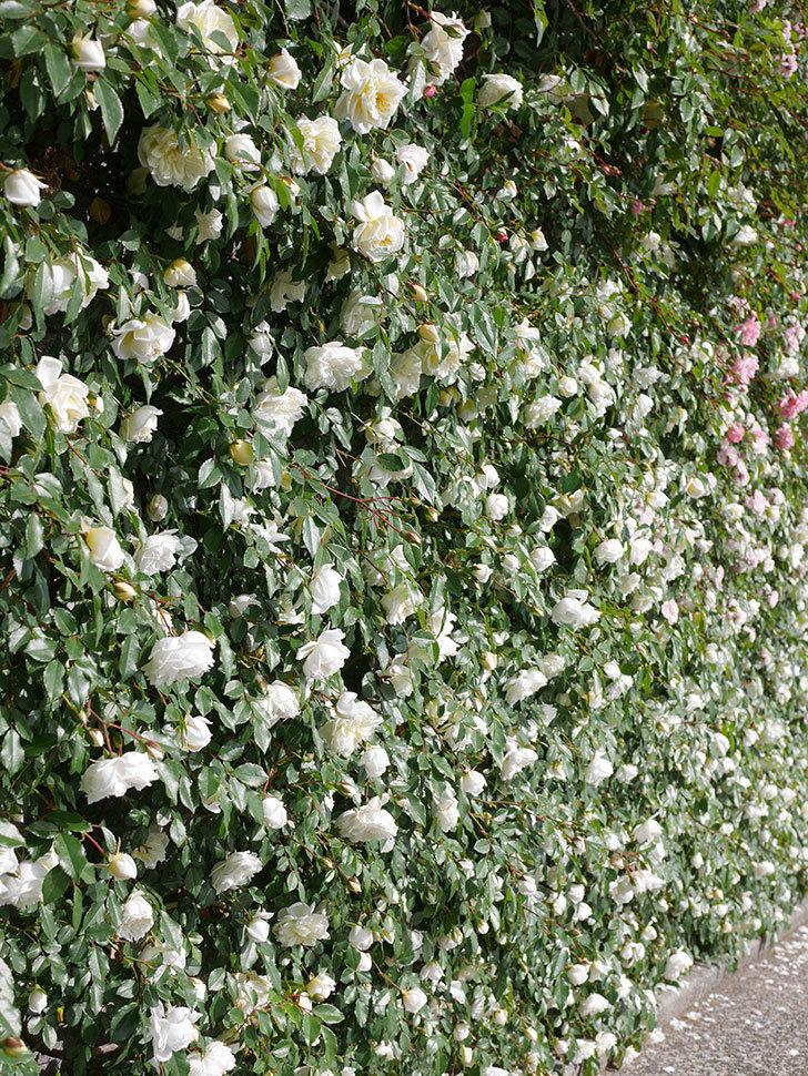 アルベリック・バルビエ(ツルバラ)の花が満開になった。ツルバラ。2021年-028.jpg