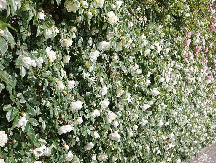 アルベリック・バルビエ(ツルバラ)の花が満開になった。ツルバラ。2021年-029.jpg
