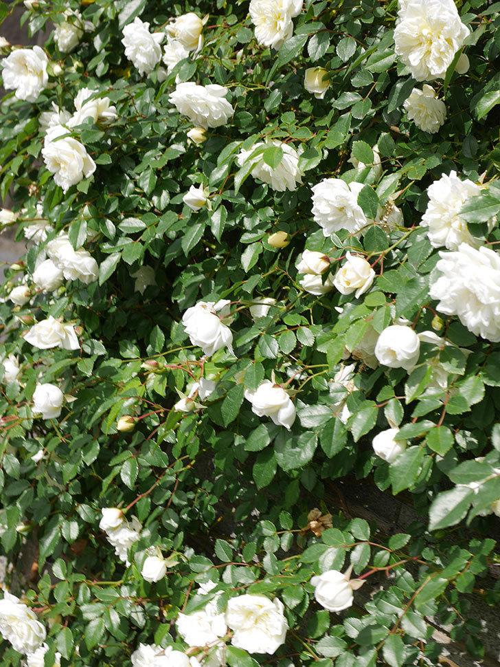 アルベリック・バルビエ(ツルバラ)の花が満開になった。ツルバラ。2021年-030.jpg