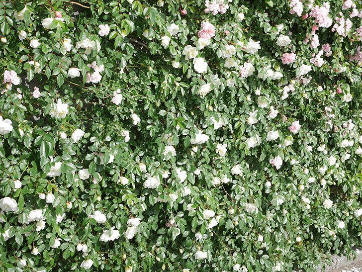 アルベリック・バルビエ(ツルバラ)の花が満開になった。ツルバラ。2021年-031.jpg