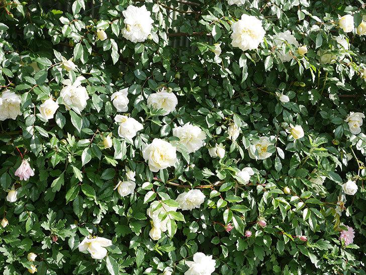 アルベリック・バルビエ(ツルバラ)の花が満開になった。ツルバラ。2021年-032.jpg