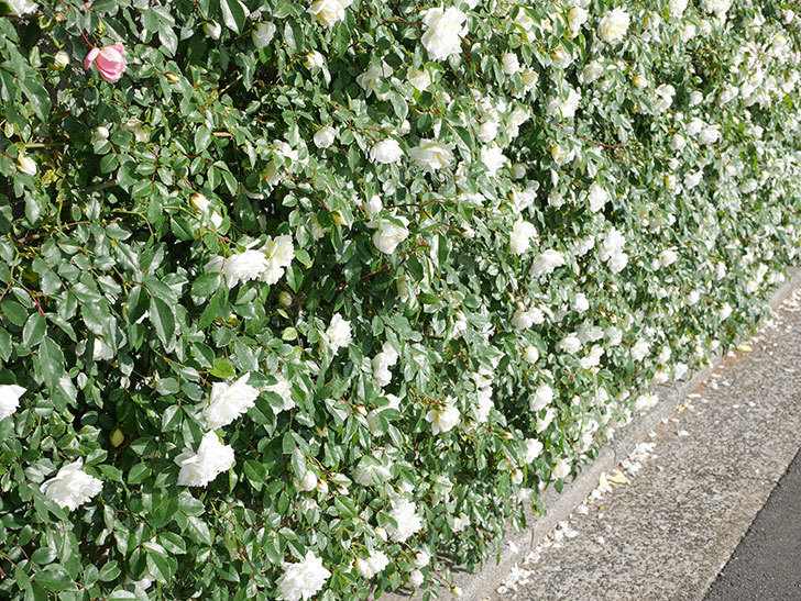 アルベリック・バルビエ(ツルバラ)の花が満開になった。ツルバラ。2021年-033.jpg