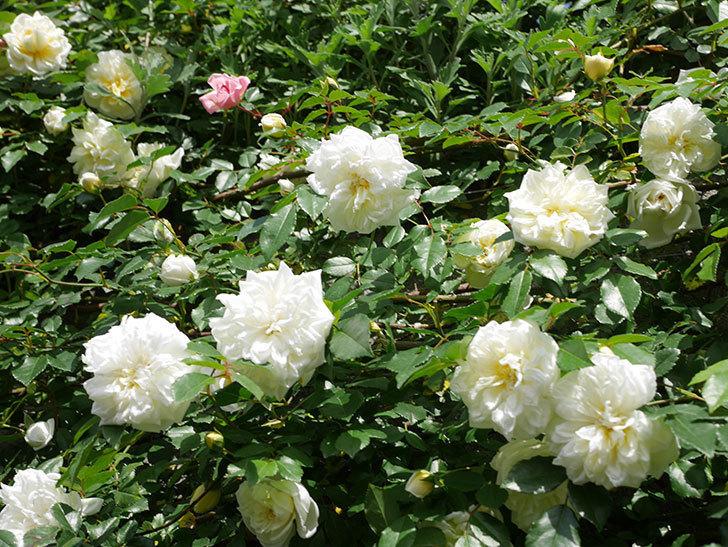アルベリック・バルビエ(ツルバラ)の花が満開になった。ツルバラ。2021年-034.jpg