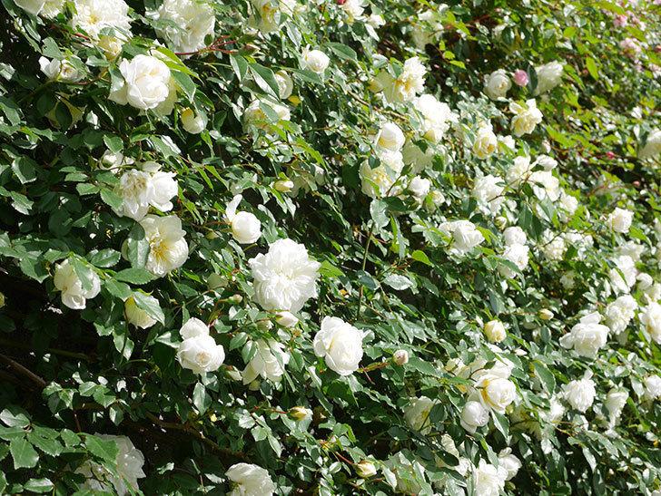 アルベリック・バルビエ(ツルバラ)の花が満開になった。ツルバラ。2021年-035.jpg