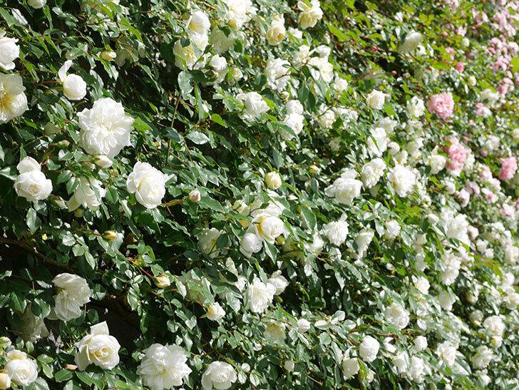 アルベリック・バルビエ(ツルバラ)の花が満開になった。ツルバラ。2021年-036.jpg