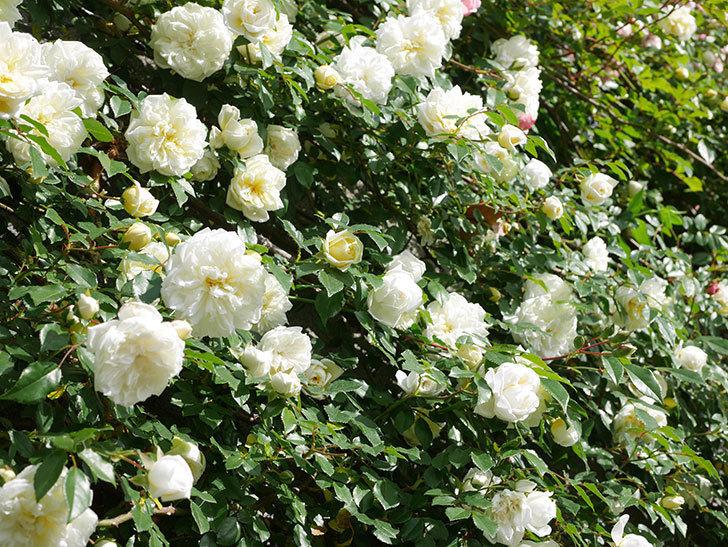 アルベリック・バルビエ(ツルバラ)の花が満開になった。ツルバラ。2021年-037.jpg