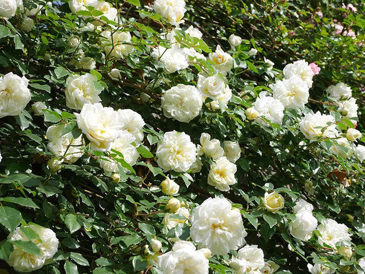 アルベリック・バルビエ(ツルバラ)の花が満開になった。ツルバラ。2021年-038.jpg