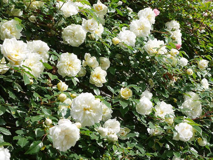 アルベリック・バルビエ(ツルバラ)の花が満開になった。ツルバラ。2021年-039.jpg