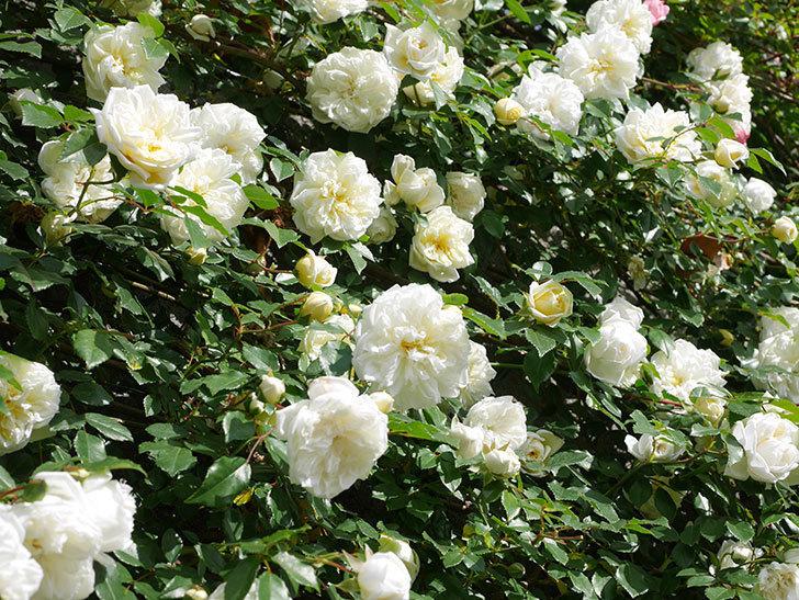 アルベリック・バルビエ(ツルバラ)の花が満開になった。ツルバラ。2021年-040.jpg
