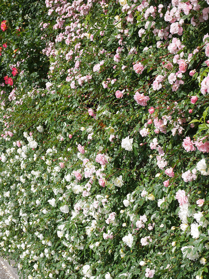 アルベリック・バルビエ(ツルバラ)の花が満開になった。ツルバラ。2021年-041.jpg