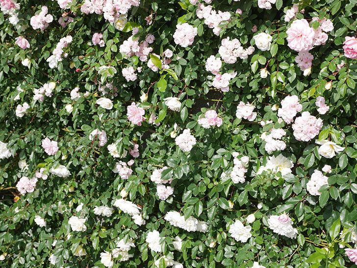 アルベリック・バルビエ(ツルバラ)の花が満開になった。ツルバラ。2021年-042.jpg