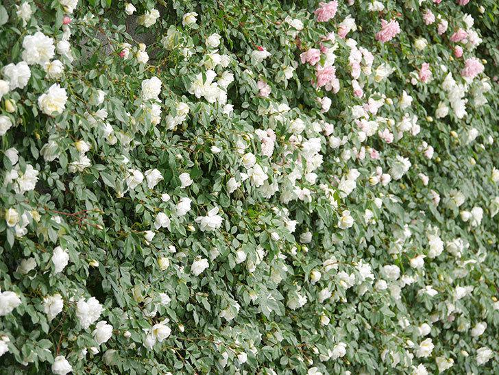 アルベリック・バルビエ(ツルバラ)の花が満開になった。ツルバラ。2021年-043.jpg