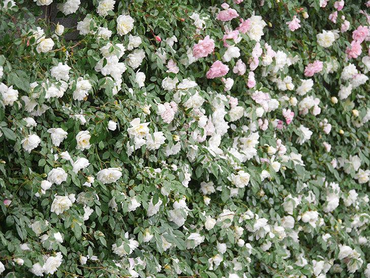 アルベリック・バルビエ(ツルバラ)の花が満開になった。ツルバラ。2021年-044.jpg