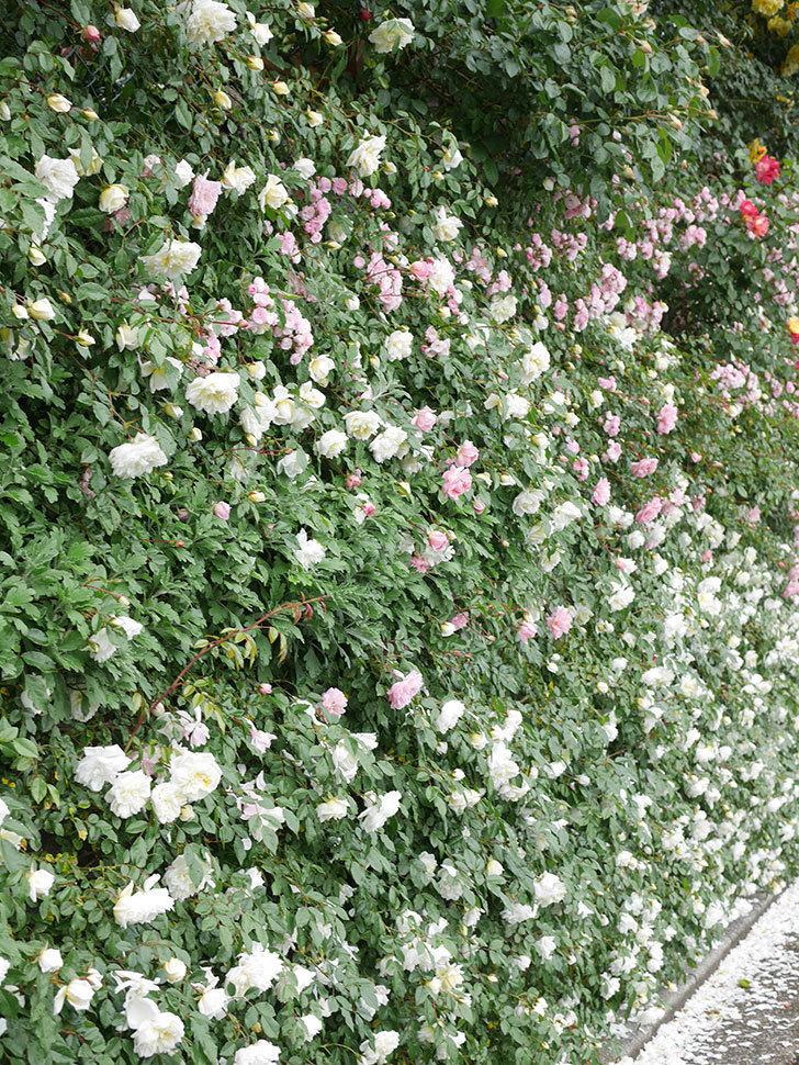 アルベリック・バルビエ(ツルバラ)の花が満開になった。ツルバラ。2021年-045.jpg