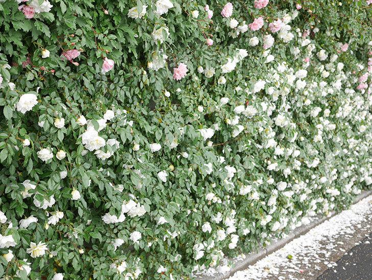アルベリック・バルビエ(ツルバラ)の花が満開になった。ツルバラ。2021年-046.jpg