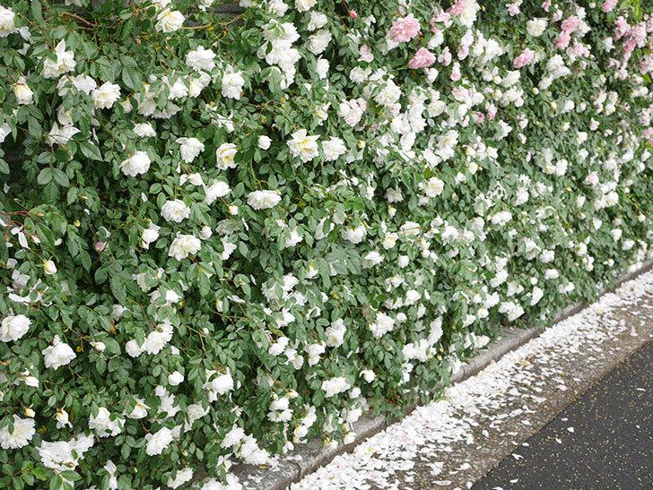 アルベリック・バルビエ(ツルバラ)の花が満開になった。ツルバラ。2021年-047.jpg