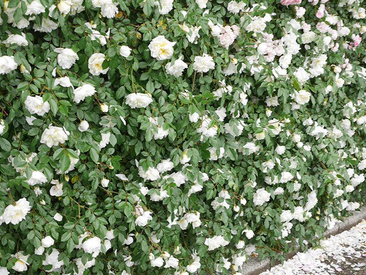 アルベリック・バルビエ(ツルバラ)の花が満開になった。ツルバラ。2021年-048.jpg