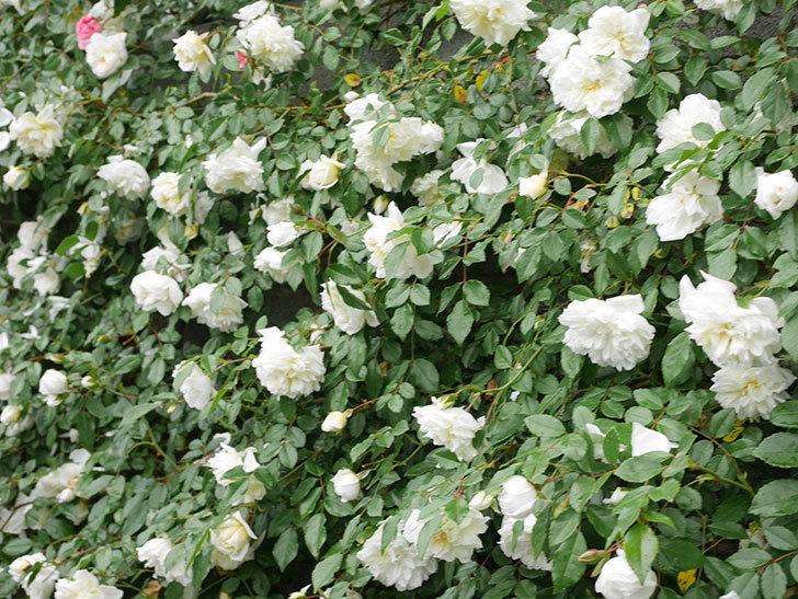 アルベリック・バルビエ(ツルバラ)の花が満開になった。ツルバラ。2021年-049.jpg
