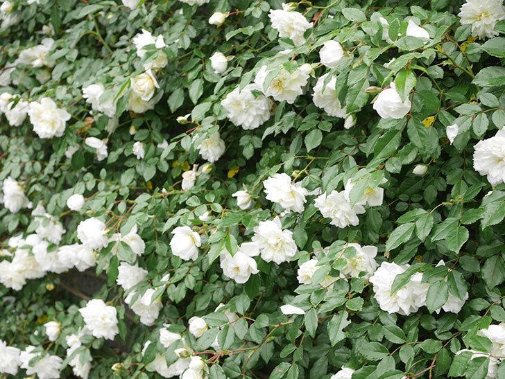 アルベリック・バルビエ(ツルバラ)の花が満開になった。ツルバラ。2021年-050.jpg