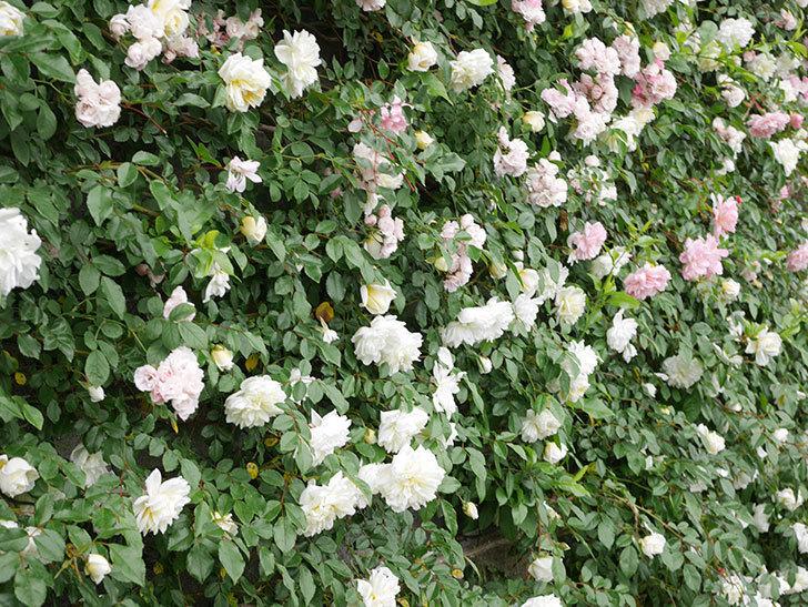 アルベリック・バルビエ(ツルバラ)の花が満開になった。ツルバラ。2021年-051.jpg
