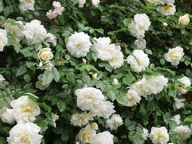 アルベリック・バルビエ(ツルバラ)の花が満開になった。ツルバラ。2021年-052.jpg