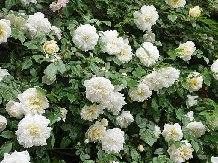 アルベリック・バルビエ(ツルバラ)の花が満開になった。ツルバラ。2021年-053.jpg