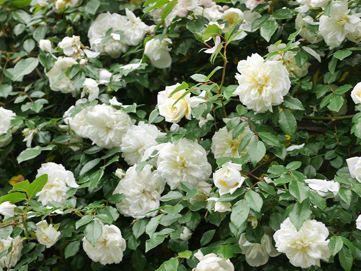 アルベリック・バルビエ(ツルバラ)の花が満開になった。ツルバラ。2021年-054.jpg