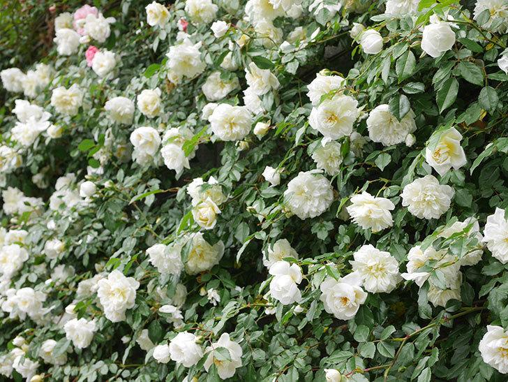 アルベリック・バルビエ(ツルバラ)の花が満開になった。ツルバラ。2021年-055.jpg