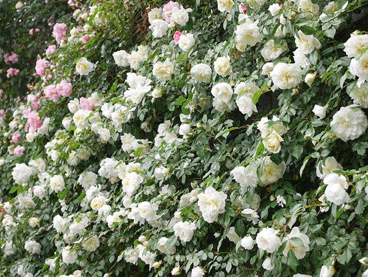 アルベリック・バルビエ(ツルバラ)の花が満開になった。ツルバラ。2021年-056.jpg
