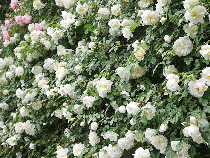 アルベリック・バルビエ(ツルバラ)の花が満開になった。ツルバラ。2021年-057.jpg