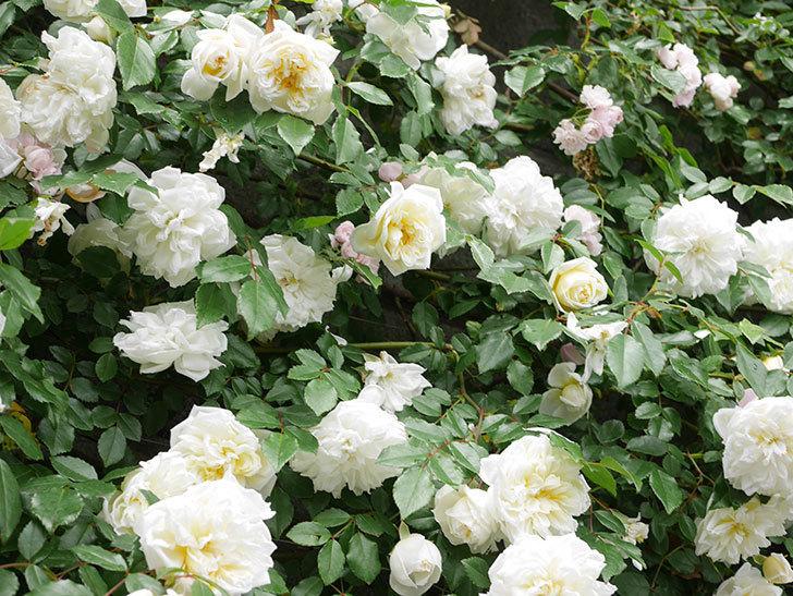 アルベリック・バルビエ(ツルバラ)の花が満開になった。ツルバラ。2021年-058.jpg