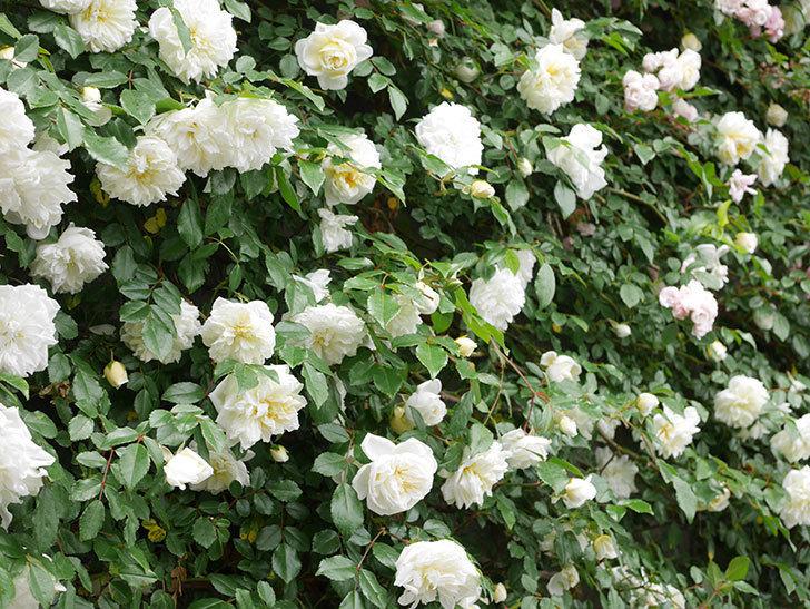 アルベリック・バルビエ(ツルバラ)の花が満開になった。ツルバラ。2021年-059.jpg